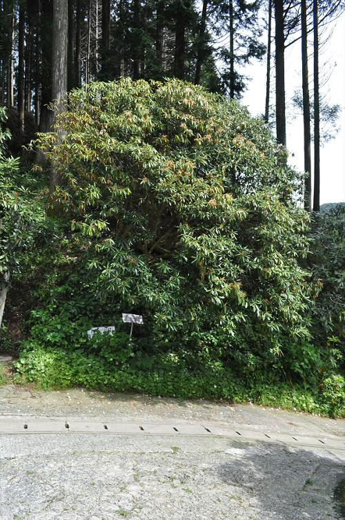 浄徳寺の石楠花