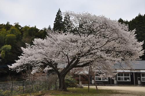 脊振小学校久保山分校跡の桜