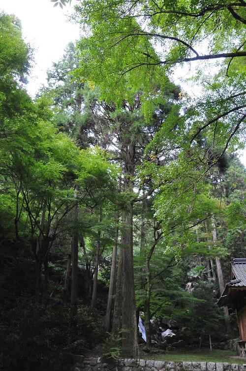 後鳥羽神社の杉