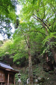後鳥羽神社のイチョウ