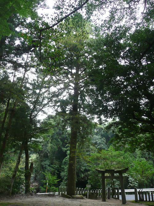 倉岡神社の杉
