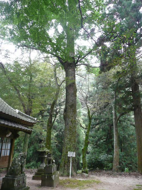 倉岡神社のイチョウ